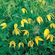 Radar Love Yellow Clematis Seeds
