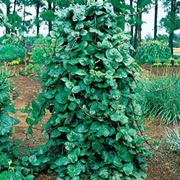 Red Stem Malabar Spinach Seeds Alternate Image 1