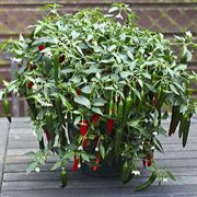 Cayennetta Hybrid Pepper Seeds (P) Pkt of 10 seeds image