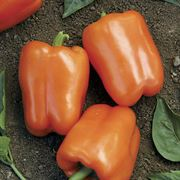 Orange Blaze Hybrid Pepper Seeds image