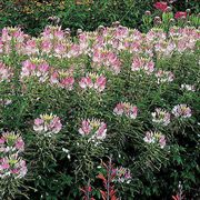 Sparkler Blush Hybrid Spider Flower Seeds