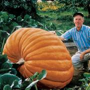 Dill's Atlantic Giant Pumpkin Seeds image