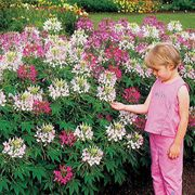 Sparkler Mix Hybrid Spider Flower Seeds