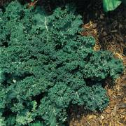 Winterbor Hybrid Kale Seeds image