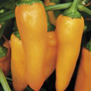 Park's Orangesicle Hybrid Pepper Seeds Alternate Image 1