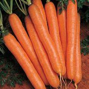 Scarlet Nantes Carrot Seeds image