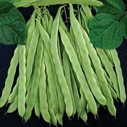 Algarve French Pole Bean Seeds (P)Pkt of 100 seeds image