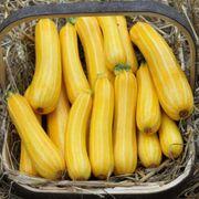 Sunstripe Hybrid Squash Seeds