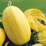 Vegetable Spaghetti Squash Seeds - Organic image