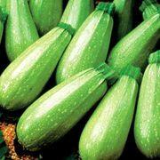 Magda Hybrid Squash Seeds image