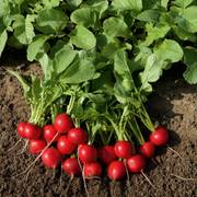 Rudolf Organic Radish Seeds image
