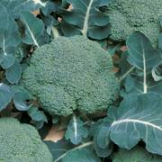 Belstar Hybrid Organic Broccoli Seeds Alternate Image 1