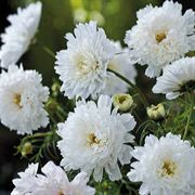 Double Click Snow Puff Cosmos Flower Seeds