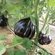 Black Beauty Organic Eggplant Seeds image