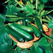 Black Beauty Organic Squash Thumb