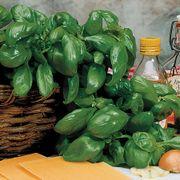 Large Leaf Italian Organic Basil Seeds image