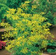 Organic Bouquet Dill Seeds image
