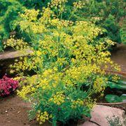 Organic Bouquet Dill Seeds