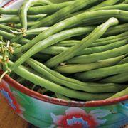 Organic Provider Bean Seeds