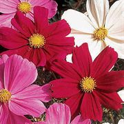 Gazebo Red Cosmos Flower Seeds