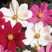 Gazebo White Cosmos Flower Seeds