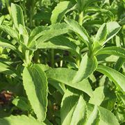 Sugarleaf Stevia Seeds