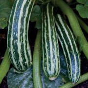 Organic Italian Harvest Hybrid Squash Seeds