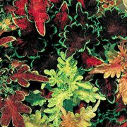 Carefree Mix Coleus Seeds