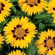 Sunfire Yellow Coreopsis Flower Seeds