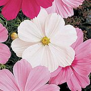 Sonata White Cosmos Flower Seeds