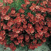 Mahogany Midget Red Coreopsis Flower Seeds