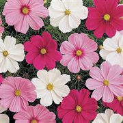 Sonata Mix Cosmos Flower Seeds