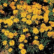 Cosmic Yellow Cosmos Flower Seeds