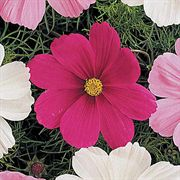 Sonata Carmine Purple-Red Cosmos Flower Seeds