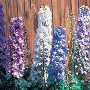 Magic Fountain Pure White Delphinium Seeds