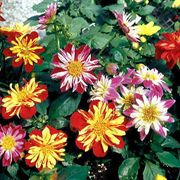 Harlequin Mix Dahlia Seeds