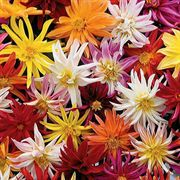 Star-Gazer Dahlia Seeds