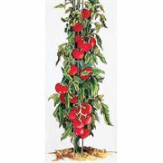 5 Foot Tomato Tower