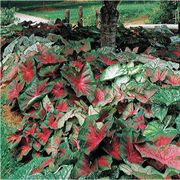 Fancy-leaved Mixed Caladium Bulbs - Pack of 5 image