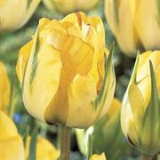 Akebono Tulip - Pack of 10