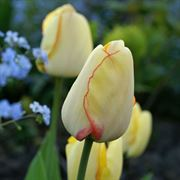 Tulip 'Beauty of Spring' Alternate Image 2