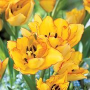 Tulip 'Beauty of Spring' Alternate Image 3