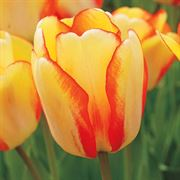 Tulip 'Beauty of Spring' image