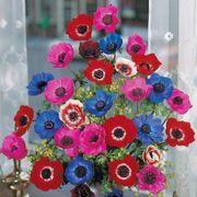 De Caen Poppy Anemone Bulb - Pack of 10 Alternate Image 1