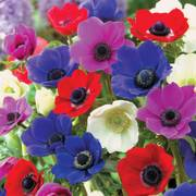 De Caen Poppy Anemone Bulb - Pack of 10 image
