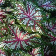 Caladium Tapestry - Pack of 5 Bulbs image