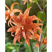 Flore Pleno Double Tiger Lily - Pack of 3