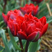 Red Princess Tulip - Pack of 10