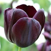 Queen of the Night Tulip  - Pack of 8