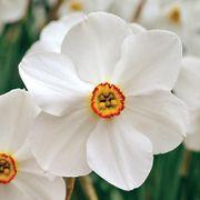 Narcissus poeticus var. recurvus Alternate Image 1
